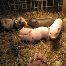 Best Little Potbelly Pig House in Texas   9030 Western St, Beach City, TX 77523, USA