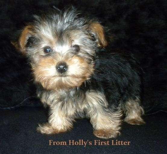 AKC Chihuahua & Yorkie Puppies - store  | Photo 3 of 10 | Address: 8200 Escondido Ave, Oak Hills, CA 92344, USA | Phone: (951) 505-5117