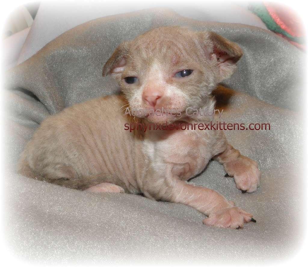 Sphynx cats & Devon Rex Kittens Merit award Winning Cattery - veterinary care  | Photo 3 of 10 | Address: 15673 Southern Blvd #107, Loxahatchee Groves, FL 33470, USA | Phone: (561) 396-6290
