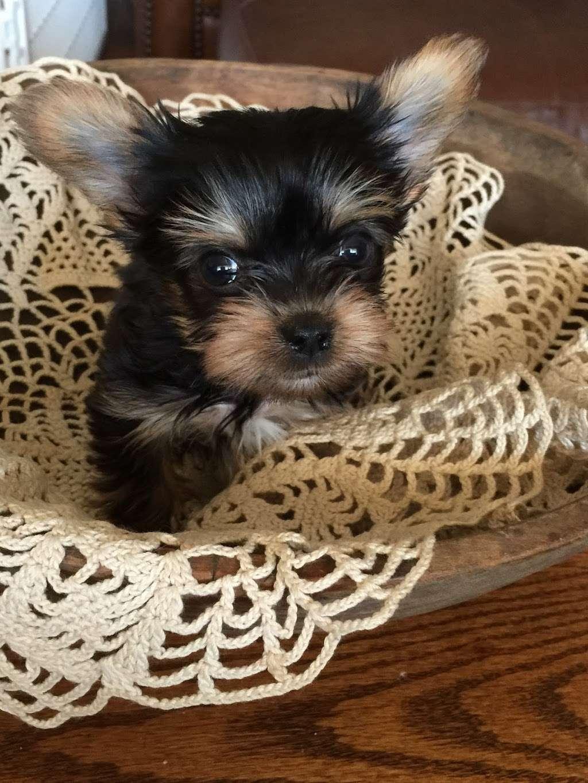 DEBORAHS YORKIES - pet store  | Photo 1 of 6 | Address: 248 Thornton Dr, Mcconnellsburg, PA 17233, USA | Phone: (717) 816-4307
