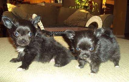 AKC Chihuahua & Yorkie Puppies - store  | Photo 4 of 10 | Address: 8200 Escondido Ave, Oak Hills, CA 92344, USA | Phone: (951) 505-5117