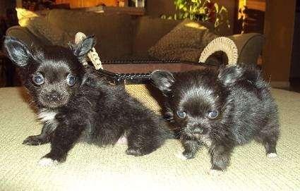 AKC Chihuahua & Yorkie Puppies - store  | Photo 4 of 10 | Address: 8200 Escondido Ave, Oak Hills, CA 92344, USA | Phone: (951) 505-5117