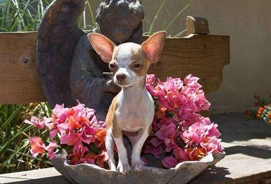 AKC Chihuahua & Yorkie Puppies - store  | Photo 2 of 10 | Address: 8200 Escondido Ave, Oak Hills, CA 92344, USA | Phone: (951) 505-5117