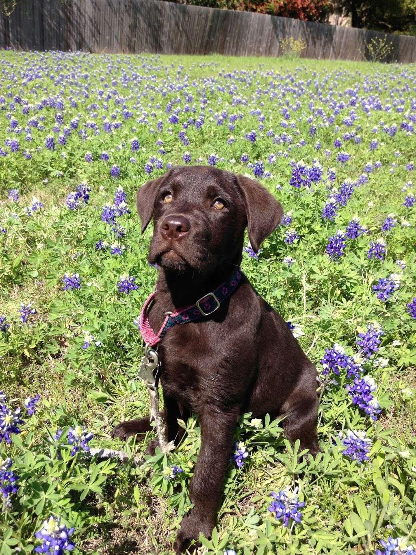 Texas Faith Labradors - pet store  | Photo 7 of 9 | Address: 11125 Tanyard Rd, Willis, TX 77378, USA | Phone: (936) 537-4557
