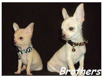 AKC Chihuahua & Yorkie Puppies - store  | Photo 6 of 10 | Address: 8200 Escondido Ave, Oak Hills, CA 92344, USA | Phone: (951) 505-5117
