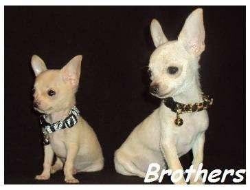 AKC Chihuahua & Yorkie Puppies - store  | Photo 6 of 10 | Address: 8200 Escondido Ave, Oak Hills, CA 92344, USA | Phone: (951) 505-5117