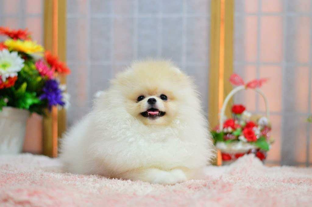 Pomeranian Puppies, Teacup - Pet store | Chicago, IL 60608, USA