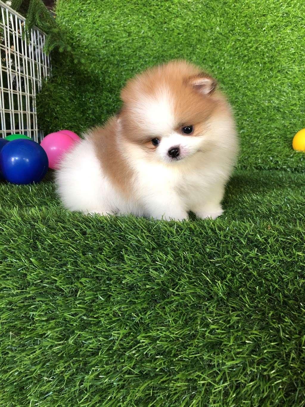 Pomeranian Puppies, Boutique - pet store  | Photo 4 of 10 | Address: Houston, TX, USA | Phone: (650) 303-1599