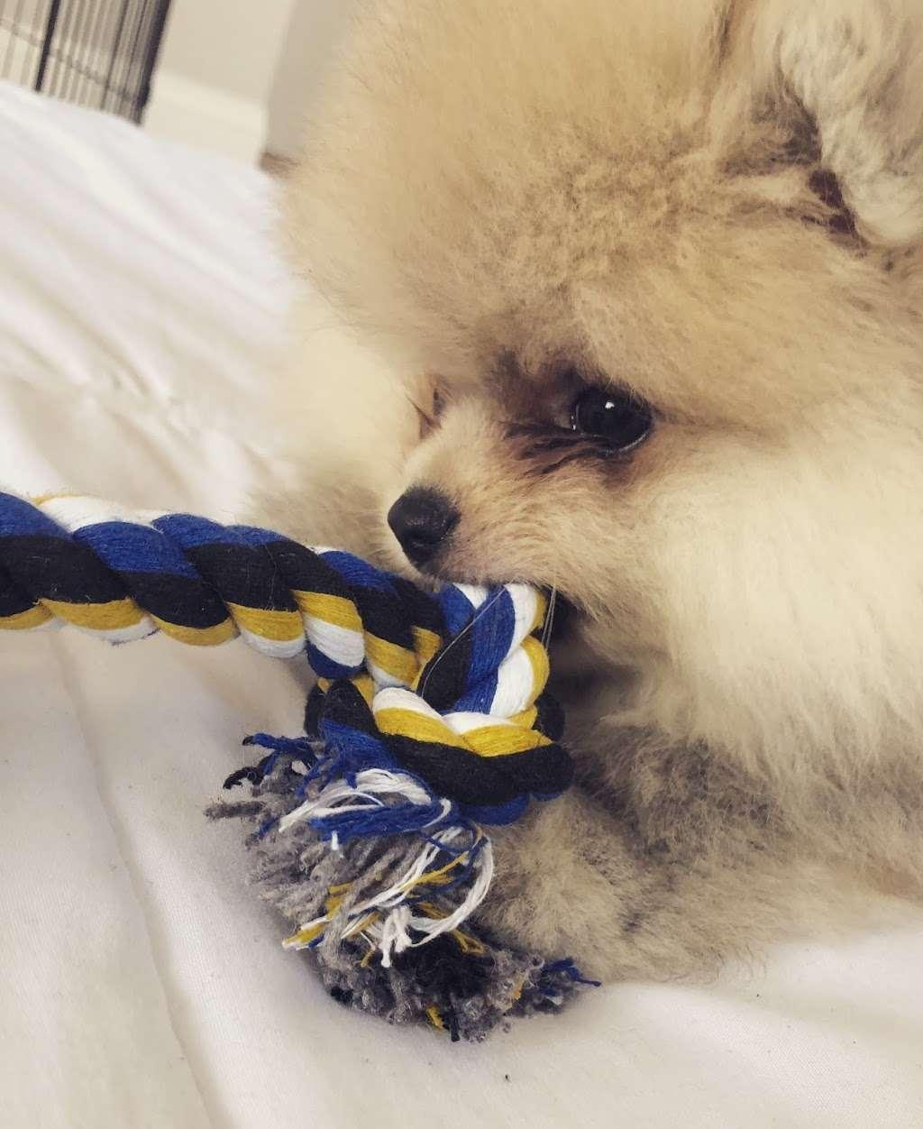 Pomeranian Puppies, Boutique - pet store  | Photo 8 of 10 | Address: Houston, TX, USA | Phone: (650) 303-1599