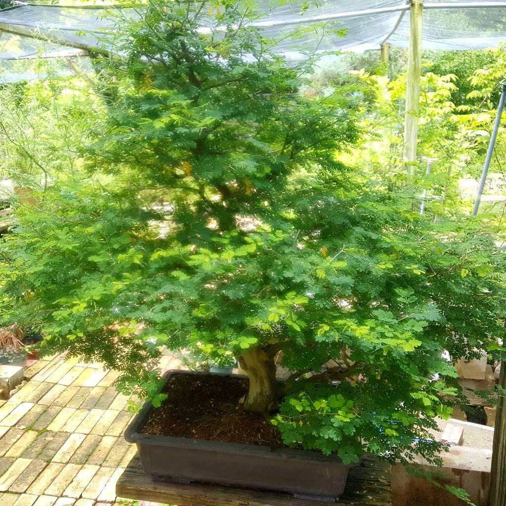 Bent Tree Bonsai 5915 S Cockrell Hill Rd Dallas Tx 75236 Usa