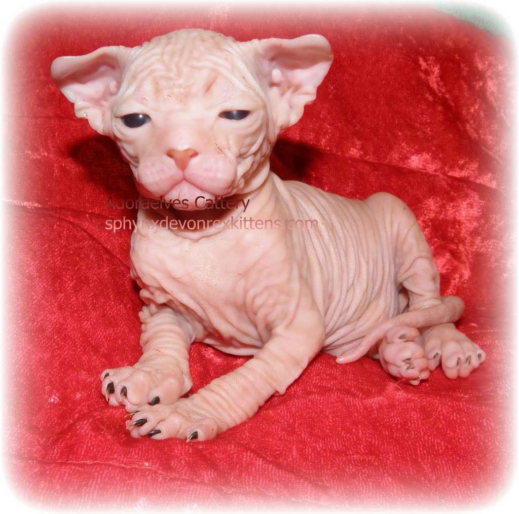 Sphynx cats & Devon Rex Kittens Merit award Winning Cattery - veterinary care  | Photo 9 of 10 | Address: 15673 Southern Blvd #107, Loxahatchee Groves, FL 33470, USA | Phone: (561) 396-6290