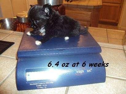 AKC Chihuahua & Yorkie Puppies - store  | Photo 10 of 10 | Address: 8200 Escondido Ave, Oak Hills, CA 92344, USA | Phone: (951) 505-5117