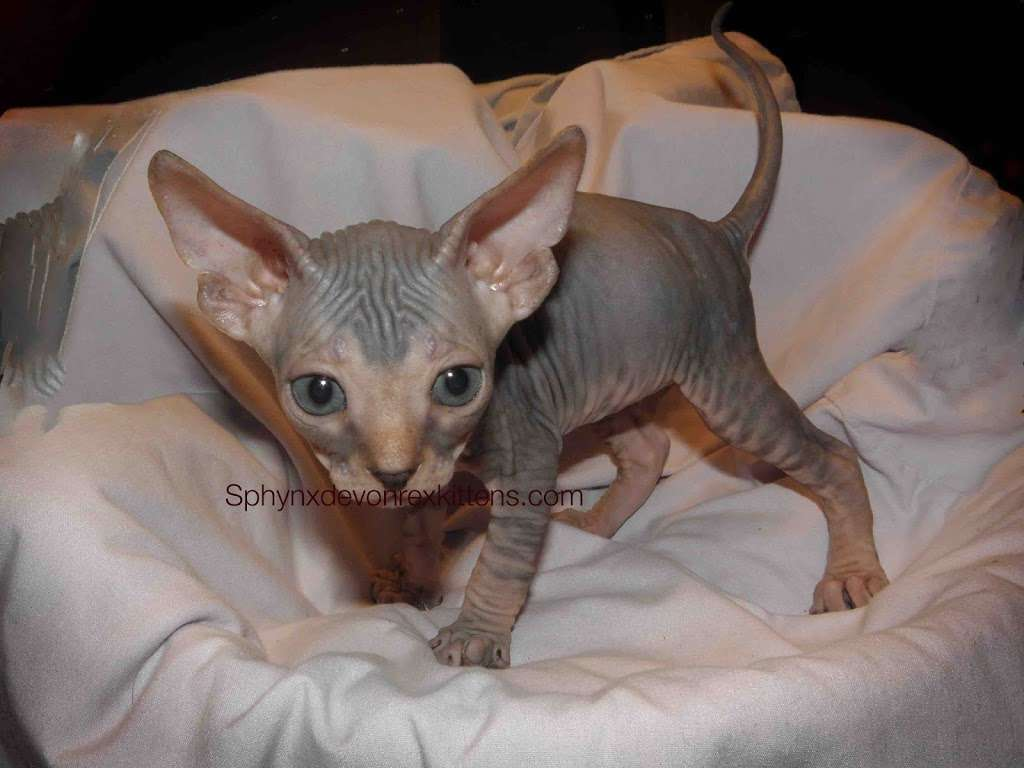 Sphynx cats & Devon Rex Kittens Merit award Winning Cattery - veterinary care  | Photo 6 of 10 | Address: 15673 Southern Blvd #107, Loxahatchee Groves, FL 33470, USA | Phone: (561) 396-6290