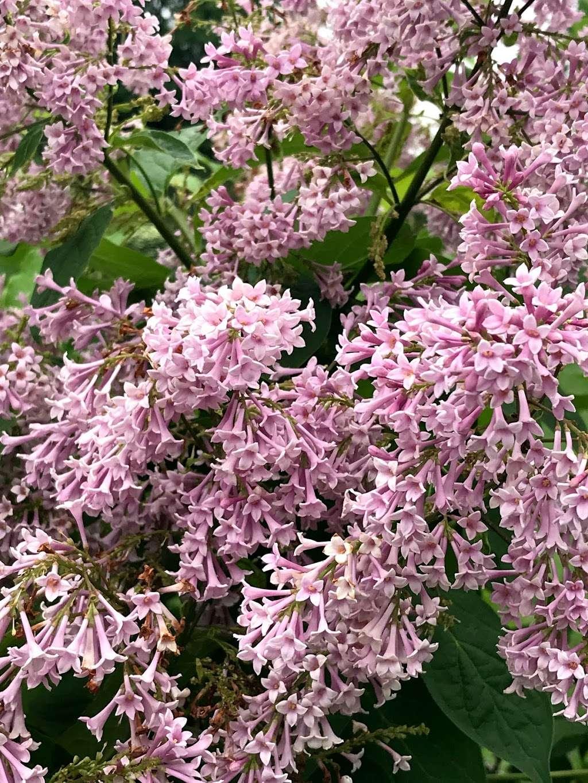 Lilac Collection - park  | Photo 4 of 10 | Address: Bronx Park Rd, Bronx, NY 10467, USA | Phone: (718) 817-8700