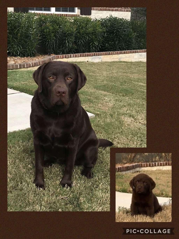 Texas Faith Labradors - pet store  | Photo 3 of 9 | Address: 11125 Tanyard Rd, Willis, TX 77378, USA | Phone: (936) 537-4557