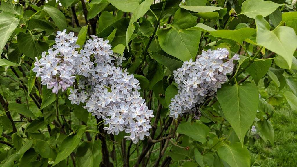 Lilac Collection - park  | Photo 3 of 10 | Address: Bronx Park Rd, Bronx, NY 10467, USA | Phone: (718) 817-8700