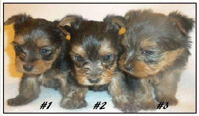 AKC Chihuahua & Yorkie Puppies - store  | Photo 8 of 10 | Address: 8200 Escondido Ave, Oak Hills, CA 92344, USA | Phone: (951) 505-5117