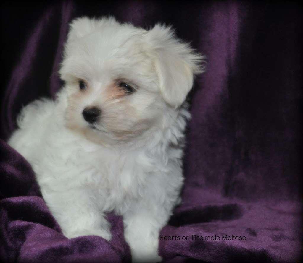 DEBORAHS YORKIES - pet store  | Photo 5 of 6 | Address: 248 Thornton Dr, Mcconnellsburg, PA 17233, USA | Phone: (717) 816-4307