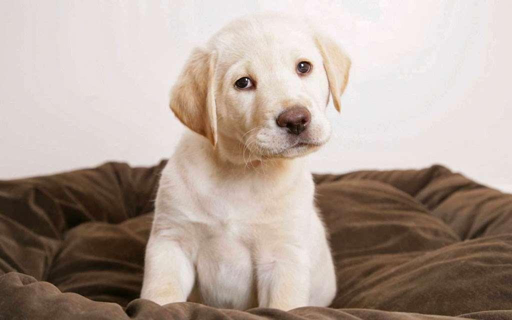 Texas Faith Labradors - pet store  | Photo 1 of 9 | Address: 11125 Tanyard Rd, Willis, TX 77378, USA | Phone: (936) 537-4557