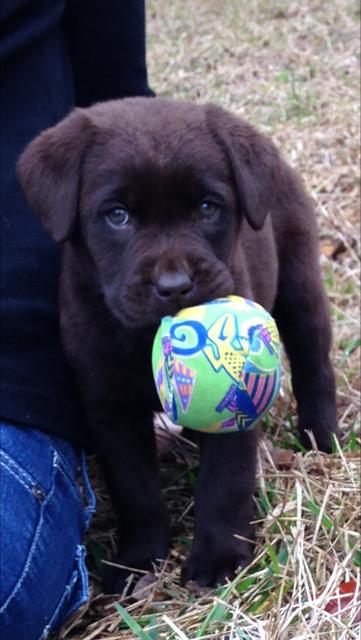 Texas Faith Labradors - pet store  | Photo 8 of 9 | Address: 11125 Tanyard Rd, Willis, TX 77378, USA | Phone: (936) 537-4557