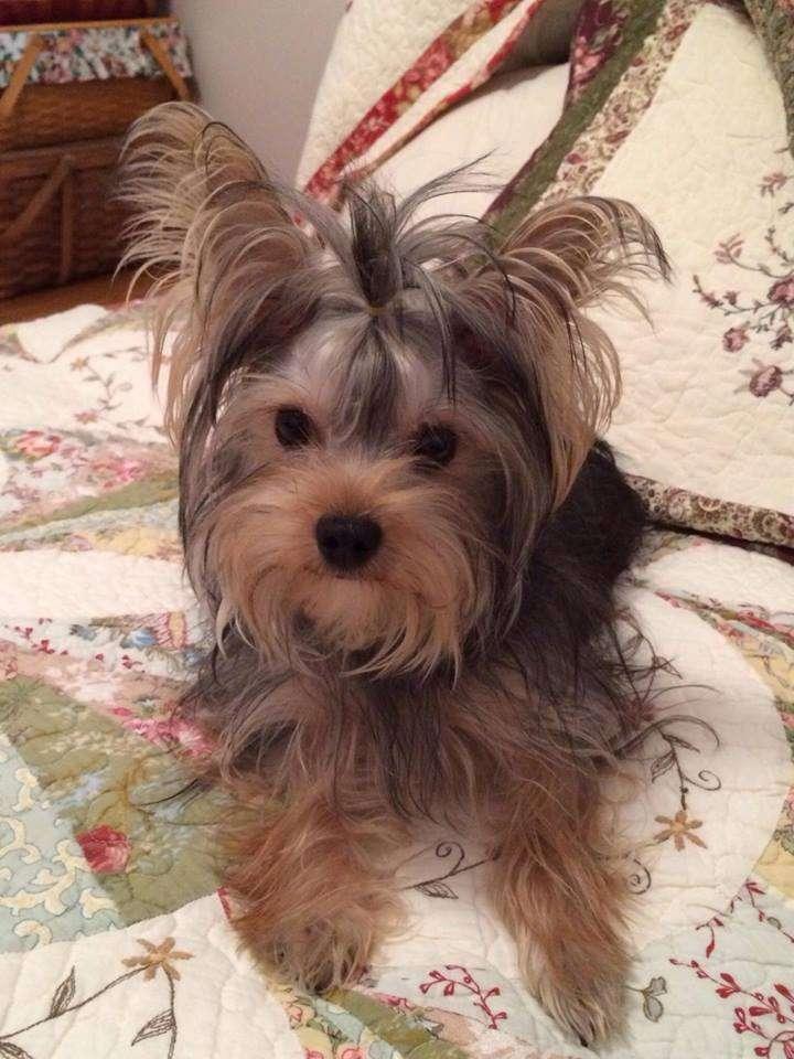 DEBORAHS YORKIES - pet store  | Photo 6 of 6 | Address: 248 Thornton Dr, Mcconnellsburg, PA 17233, USA | Phone: (717) 816-4307