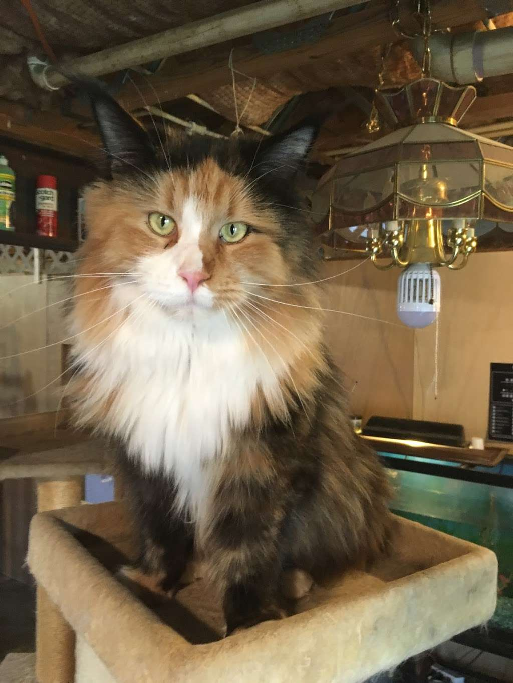 Appalachian Maine Coon Cats /www.mainecoonplace.com - veterinary care  | Photo 10 of 10 | Address: 740 Boy Scout Rd, Hedgesville, WV 25427, USA | Phone: (304) 754-9742