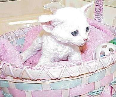 Sphynx cats & Devon Rex Kittens Merit award Winning Cattery - veterinary care  | Photo 8 of 10 | Address: 15673 Southern Blvd #107, Loxahatchee Groves, FL 33470, USA | Phone: (561) 396-6290