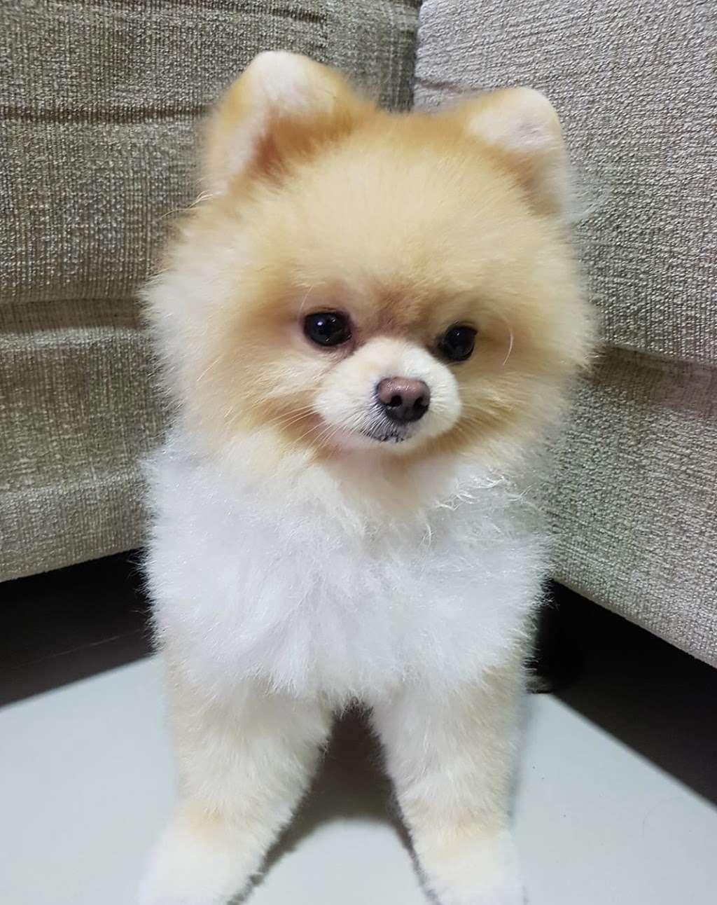 Pomeranian Puppies, Boutique - pet store  | Photo 3 of 10 | Address: Houston, TX, USA | Phone: (650) 303-1599