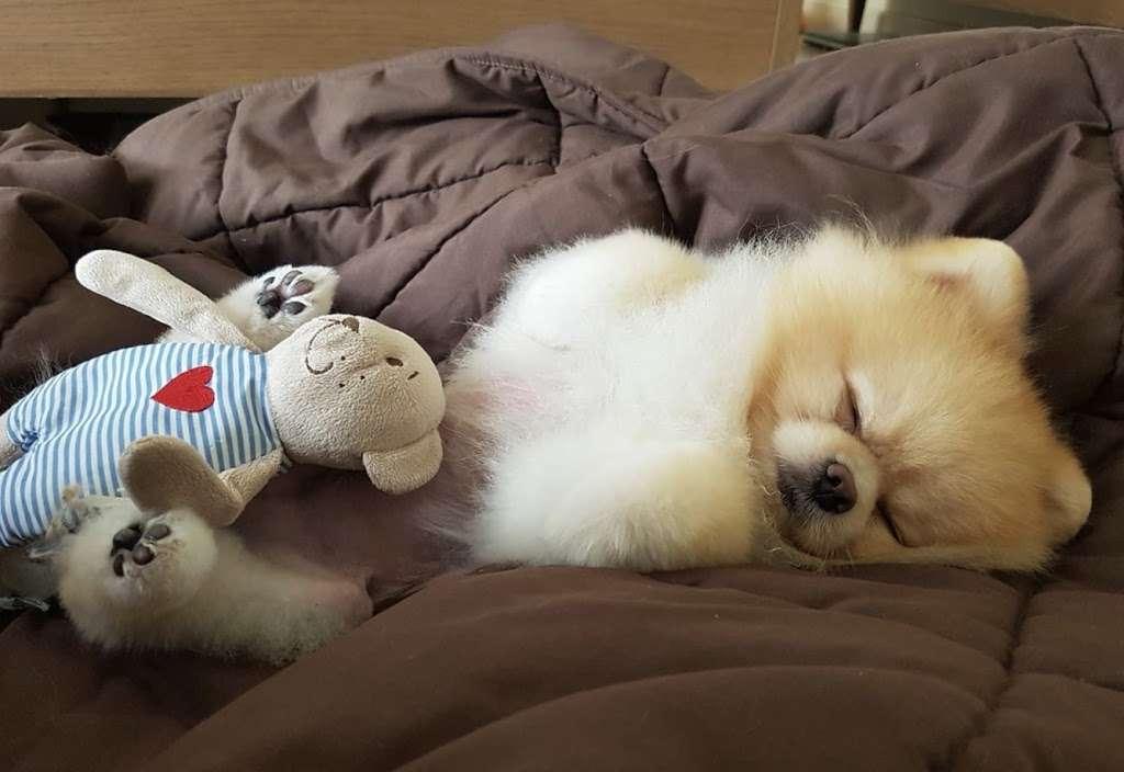 Pomeranian Puppies, Boutique - pet store  | Photo 7 of 10 | Address: Houston, TX, USA | Phone: (650) 303-1599