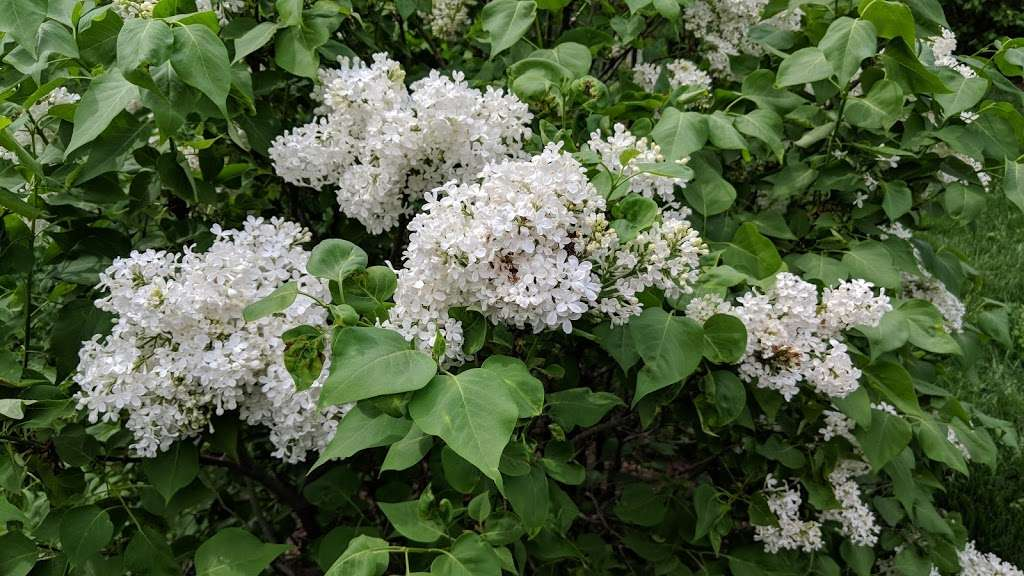 Lilac Collection - park  | Photo 1 of 10 | Address: Bronx Park Rd, Bronx, NY 10467, USA | Phone: (718) 817-8700