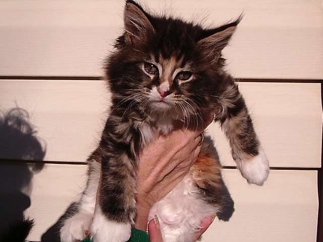 Appalachian Maine Coon Cats /www.mainecoonplace.com - veterinary care  | Photo 6 of 10 | Address: 740 Boy Scout Rd, Hedgesville, WV 25427, USA | Phone: (304) 754-9742