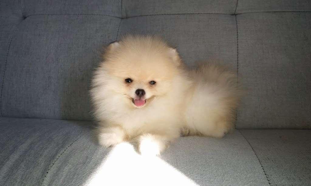 Pomeranian Puppies, Boutique - pet store  | Photo 10 of 10 | Address: Houston, TX, USA | Phone: (650) 303-1599