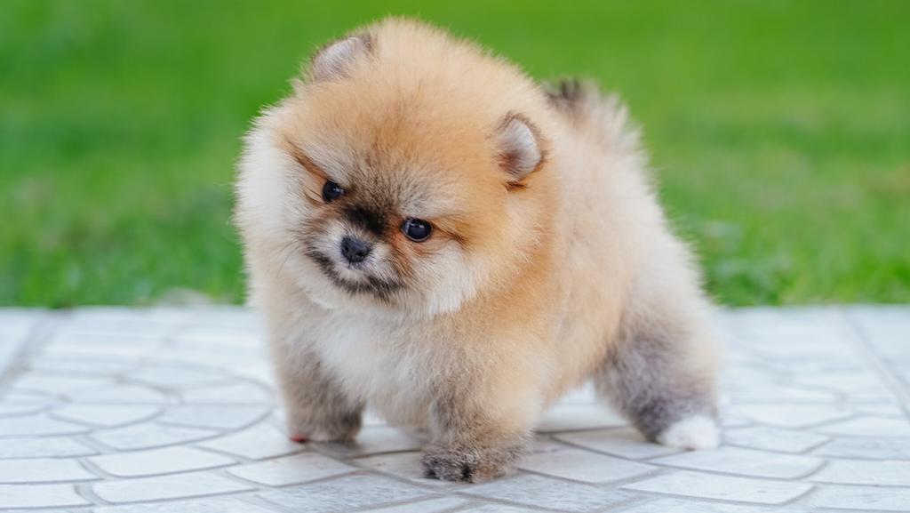 Pomeranian Puppies, Boutique - pet store  | Photo 1 of 10 | Address: Houston, TX, USA | Phone: (650) 303-1599