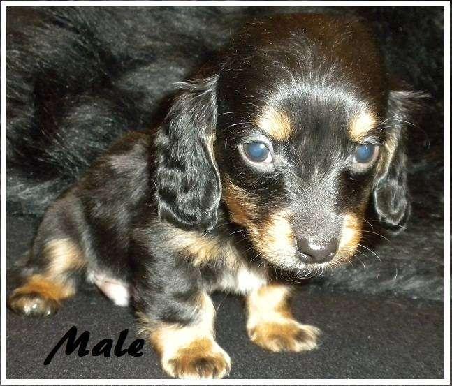 AKC Chihuahua & Yorkie Puppies - store  | Photo 1 of 10 | Address: 8200 Escondido Ave, Oak Hills, CA 92344, USA | Phone: (951) 505-5117