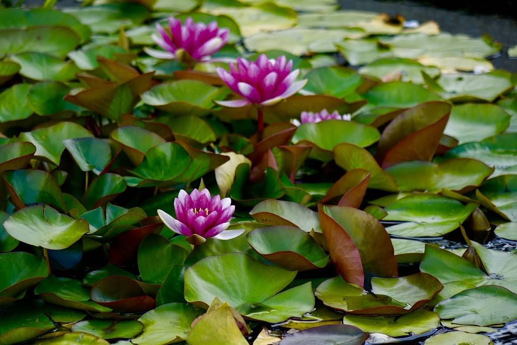 Woodland Park Rose Garden - park  | Photo 6 of 9 | Address: 750 N 50th St, Seattle, WA 98103, USA | Phone: (206) 684-4075